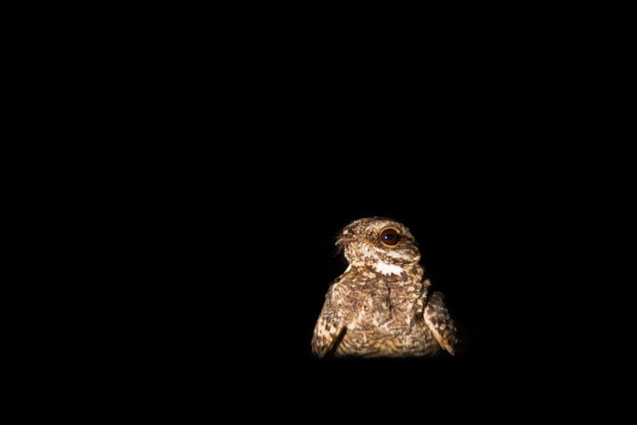 My favourite picture of the week, a Fiery Necked Nightjar, at night! Mike Sutherland (ISO 1000, f5.6, 1/80sec)