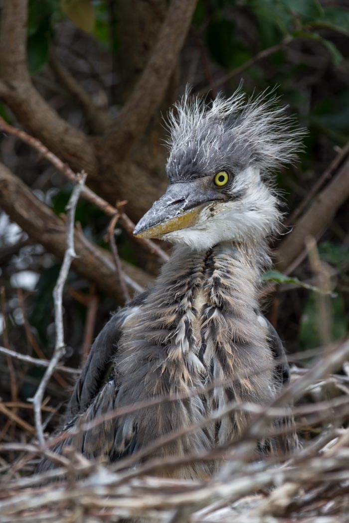 A member of our Heronry at Vomba Dam. Mike Sutherland (ISO 160, f7.1, 1/320sec)