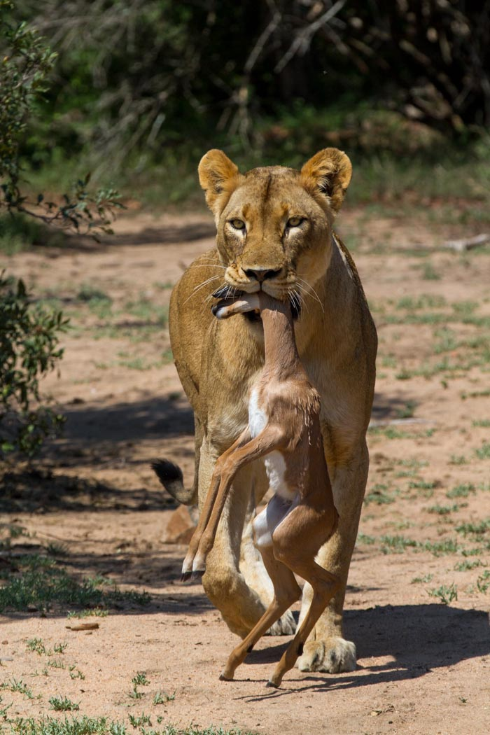 A Mhangeni female carries a freshly killed Impala lamb to the cubs. Mike Sutherland (ISO 400, f9.0, 1/1600sec)