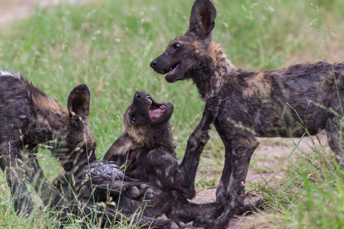 Wild Dog pups at play after a quick dip in a mud wallow. Mike Sutherland (ISO 1000, f5.6, 1/200sec)