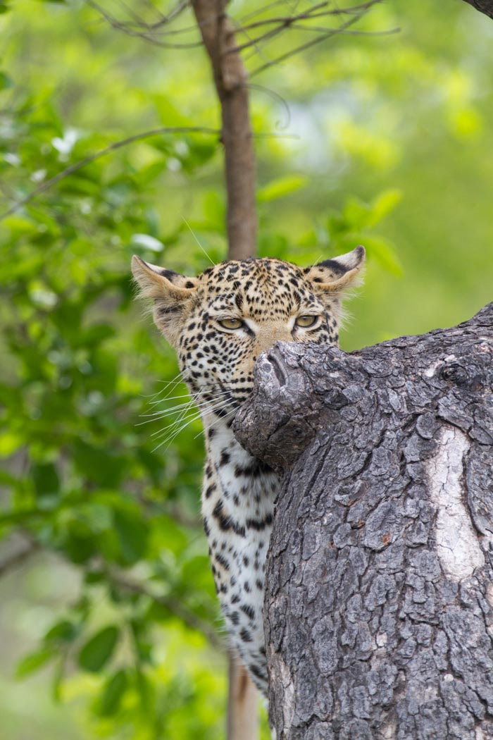 The Mashaba young female peers over a Marula tree branch. Mike Sutherland (ISO 640, f5.6, 1/1000sec)