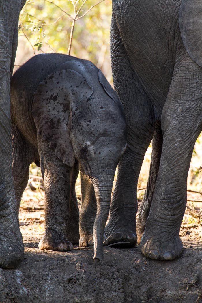 An very young Elephant calf tries to drink from a small pan amongst the herd. Mike Sutherland (ISO 200, f5.6, 1/125sec)