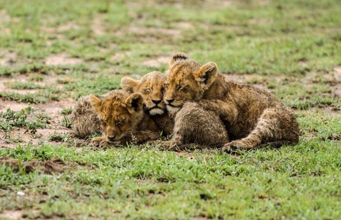 The Tsalala Cubs. Trevor McCall-Peat (ISO 640, f 2.8 1/1250sec)