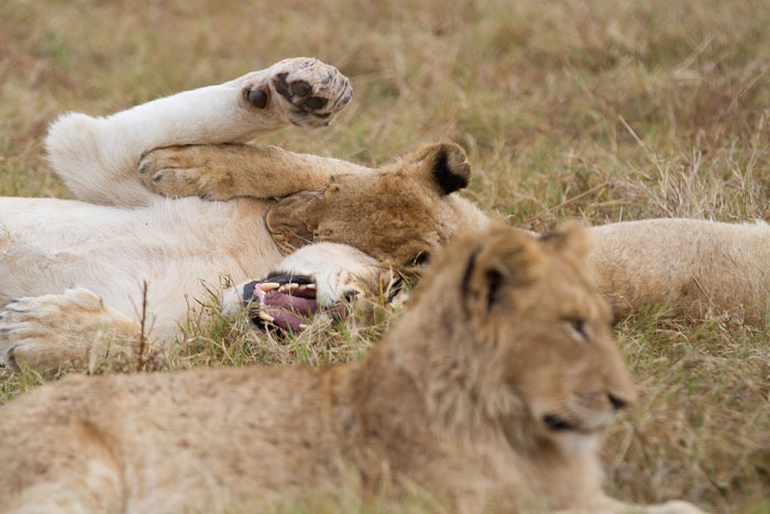 Some of the young Sparta lions in a playful mood one evening. Although starting to contribute to the hunt, it is highly unlikely that the young lions would be of any value in a pride-on-pride conflict.