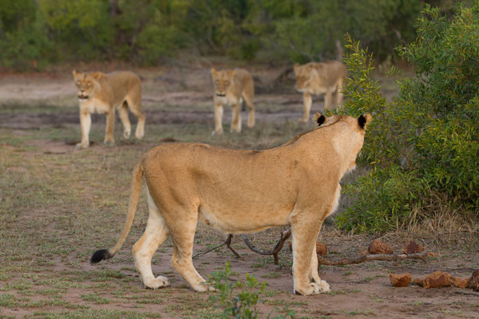 The four Mhangeni females head out on the evening's hunt.