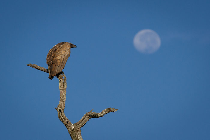 A Whitebacked vulture and the moon.