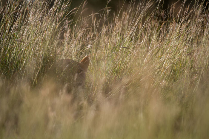 Something you may not necessarily want to see when you're on foot. The so-called 'teddy bear ears' of a lioness give her position away as she peers out of the long grass.