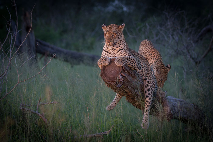 The tamboti female and cub met up with the Camp Pan male on this evening, but he was happy to just lie up in the long grass while the female and youngster did a bit of tree climbing before the three leopards parted ways.