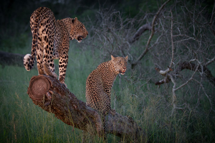 Having just come off an impala kill, both leopards had excess energy and played for a while in the evening light.