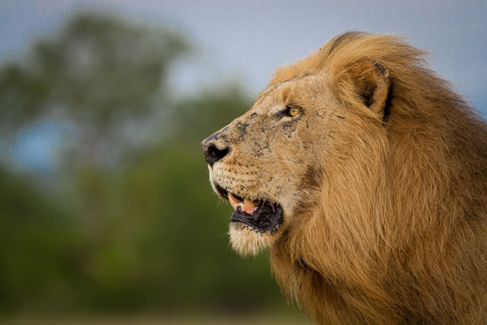 The Scar-nosed Majingilane  pauses in his approach to the Tsalala Pride who were lying up on the airstrip a hundred metres ahead. He and the missing-toothed male would once more chase the young Tsalala lioness away form the pride. Her relationship with some of the coalition remains unstable.