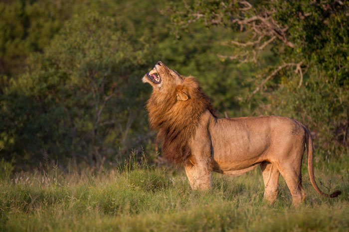 One of the Majingilane displays the flehmen grimace, analysing the urine of the Tsalala tailed lioness to test her sexual condition.