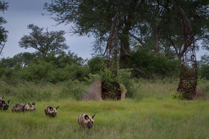 The pack of 8 wild dogs that occasionally visits from the south east trots past the intention circle, an art piece designed and built by artist-in-residence and current David Shepherd Wildlife Artist of the Year, Simon Bannister.