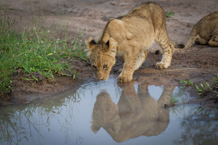 A Tsalala cub moves in to drink from a puddle.