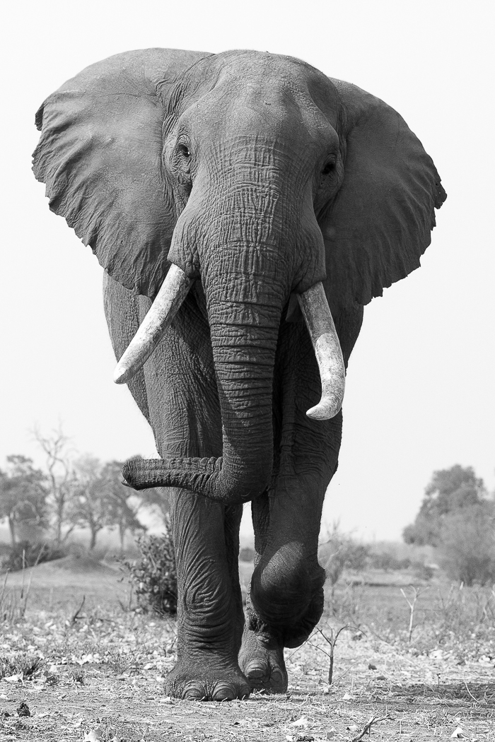 To give this bull elephant the respect that he deserves and to portray the incredible power, I decided to make this a portrait shot and try and get the lowest angle possible. Do you think it works? Photographed by Kate Neill