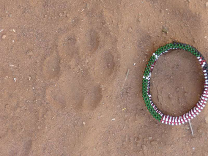 A cheetah track with a bracelet next to it for scale. One can clearly see the 3 lobes in the back pad that are indicative of a cat track, but the claws out front are diagnostic in a cheetah's track, not a leopard.