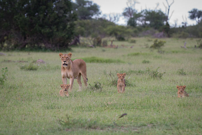 The Tailed Tsalala lioness and her cubs on one of their favourite haunts; Fluffies Clearing, barely a kilometre from camp.