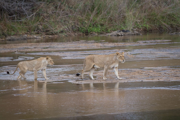 The Tailed lioness leads her daughter, the current Tsalala sub-adult, across old Elephant crossing. Lions crossing the river, although they do it often, is an event rarely witnessed.