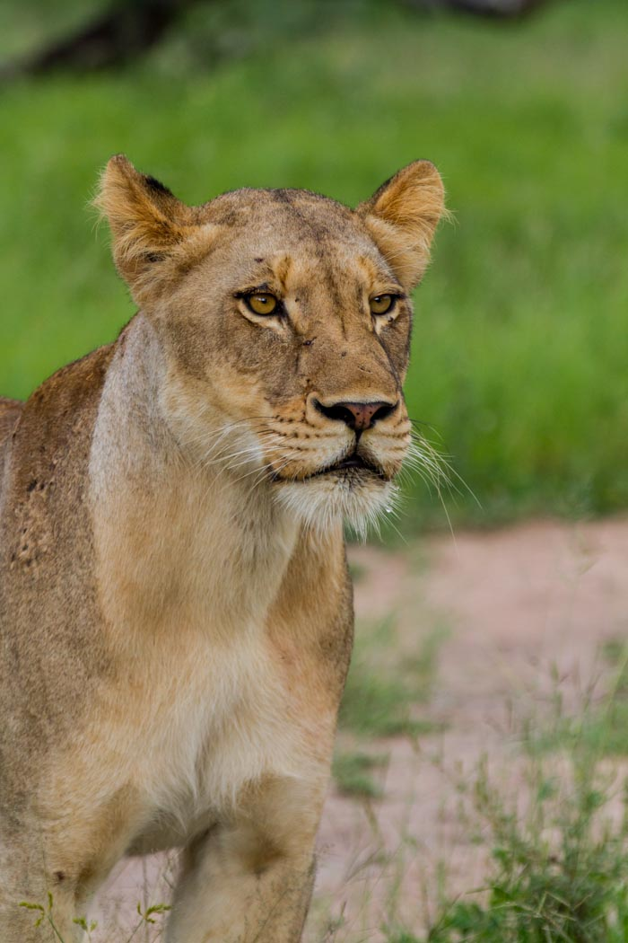 The sole survivor. The young female from the Tsalala pride.
