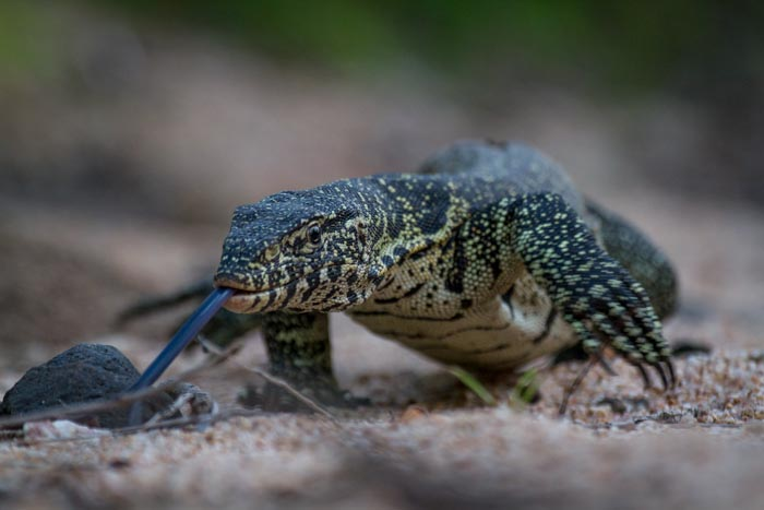 An approach of a Water Monitor.