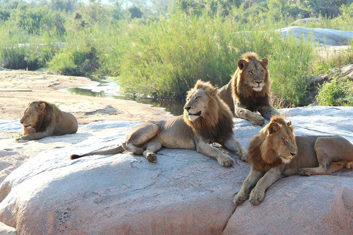 The Selati males of the west.They are still young lions, whereas the Tsalala male is over 8 years old. One-on-one, the Tsalala male and maybe even the Sparta male as well, would be more than a match for one of the Selati males, but 4 of them together should be too powerful to take on.