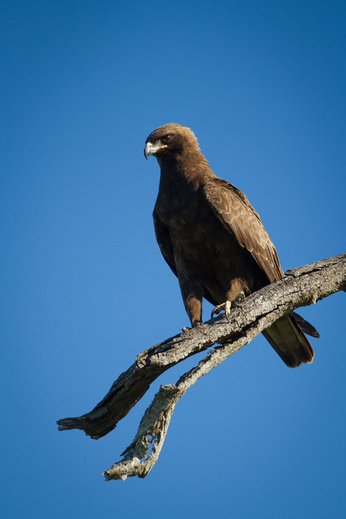 A Wahlbergs eagle enjoys the sun of a crisp summer morning. Johan August Wahlberg, after who they are named, was a Swedish naturalist and explorer who was killed by an elephant near what today is the town of Maun in Botswana.