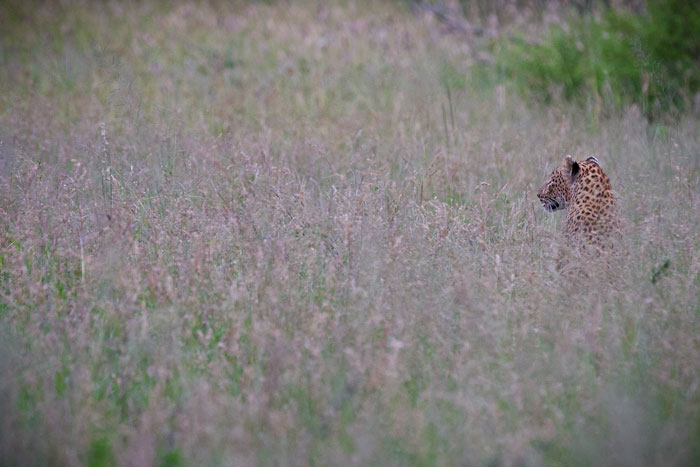 it is easy to see how a leopard can disappear in the long grass of summer. She simply has to flatten her body to the ground in order vanish entirely. This is the tuutlwa female again, hunting impala on the marula crests in front of camp.