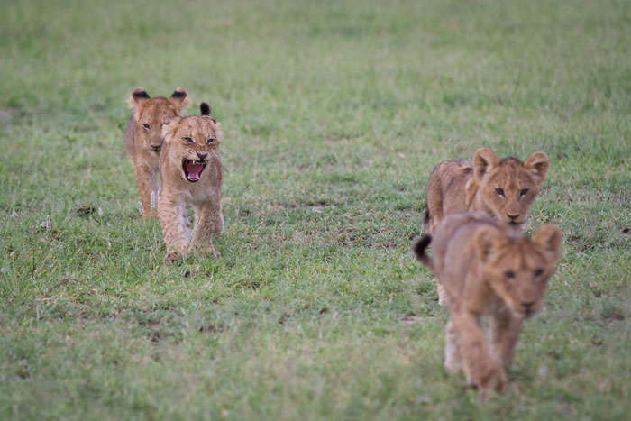 The Tsalala cubs march confidently across Fluffies Clearing.