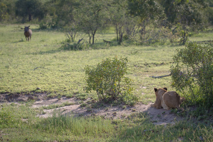 An ambitious cub from the Mhangeni pride debates the wisdom of taking on a large male warthog.