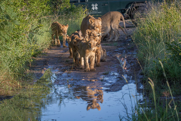 The Mhangeni cubs nervously eye a puddle in the road. Lions are known to not like getting their feet wet if they can help it, and suer enough the whole pride skirted round the water and continued on their way.