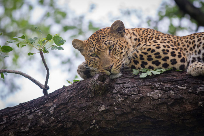 The Mashaba female this time, reclining in a marula tree near Maddies Dam. I included this photo to show how similar she is in appearance to the Tutlwa female (yes I know they are both leopards!). They are, in effect, sisters, both born to the Vomba female but in separate litters.
