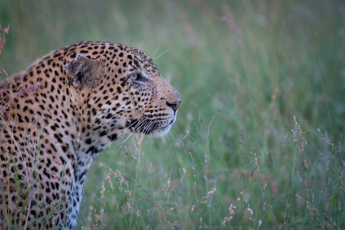 The Marthly male lowers his ears to reduce his profile as he watches a herd of impala in the distance.