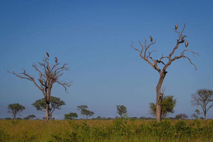 Marabou storks some dead leadwood trees in the grasslands.
