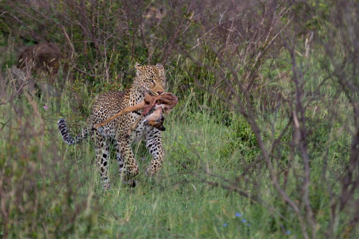 With a Hyena in hot persuit, the male makes a speedy dash for a nearby Marula.