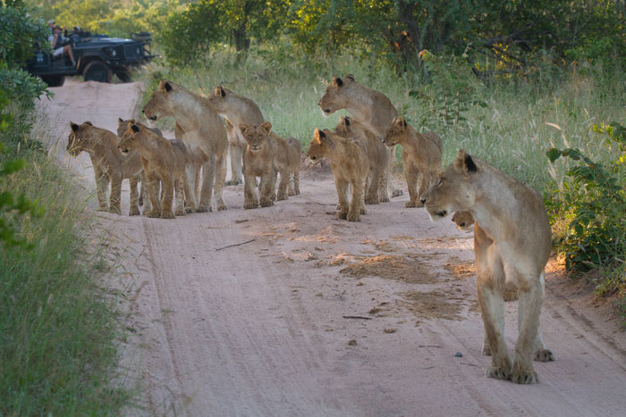 The full Mhangeni pride turn their heads to listen to the nearby roars of the Majingilane.