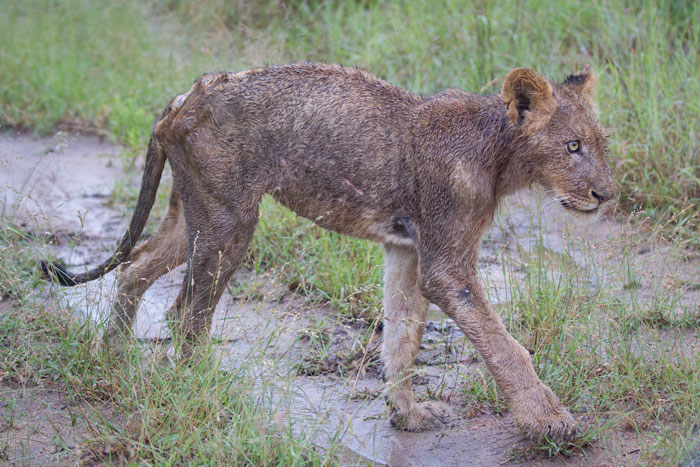 The emaciated frame of the injured young Sparta male, limping along gamely behind the pride. We think that by now he has sadly succumbed to his wounds.