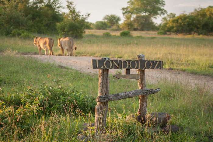 A miss is as good as a mile. not anticipating their movements in time, I was too late to snap a much-coveted picture of the two Tsalala lionesses walking past one of the Londolozi sign. The sign looks great here, but the blurred lionesses in the background serve as a reminder to always think ahead!