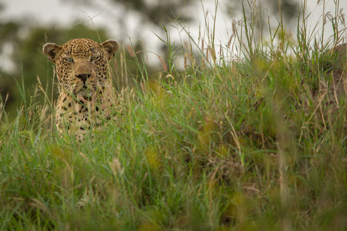 The Mhangeni male leopard, easily recognisable by his opaque blue right eye, watches a warthog burrow intently. No warthogs emerged, so he wandered off to seek more likely prey.