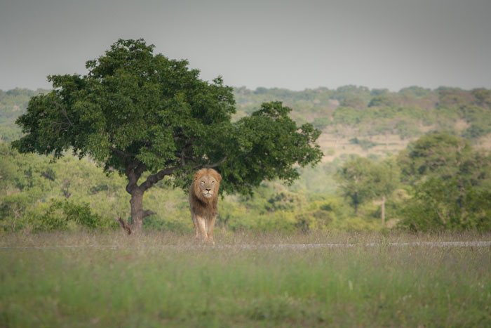 The Majingilane with the missing canine hesitates before approaching the Tsalala Pride, who were sleeping in the shade nearby.