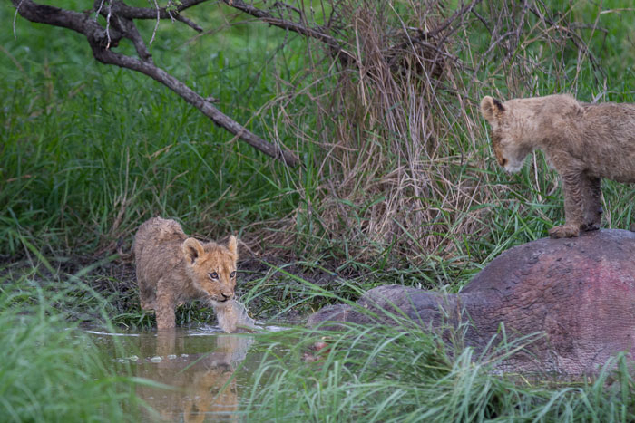 One of the Tsalala cubs gingerly paws at the water while it's sibling looks on from atop a hippo carcass.