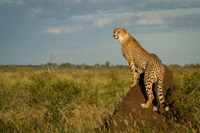 The male cheetah in a typical pose down in the Open Areas.