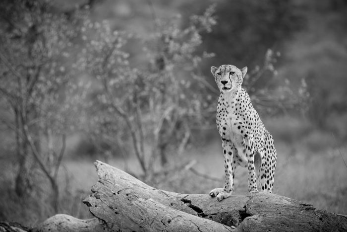 The male cheetah, near the river east of camp. He was being followed at a distance by the young Tsalala lioness , so kept on having to glance behind him to see how close she was. He didn't have a kill, and without the pride near her the lioness was not confident, so eventually she lost interest in the cheetah and settled down to sleep.
