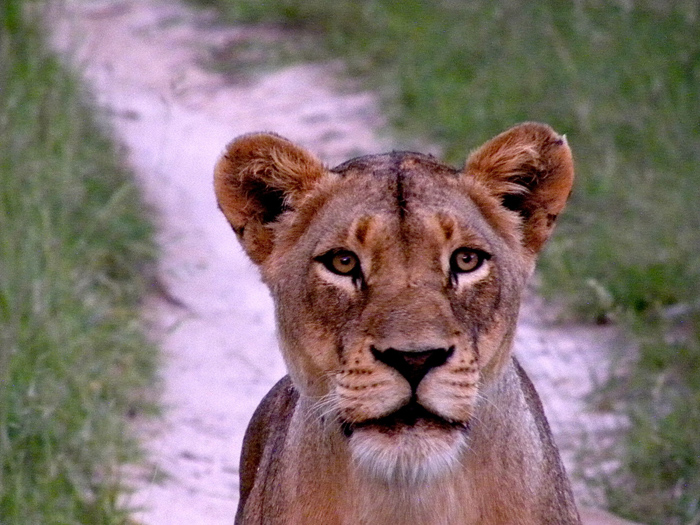 This Lioness was only a few feet from us.
