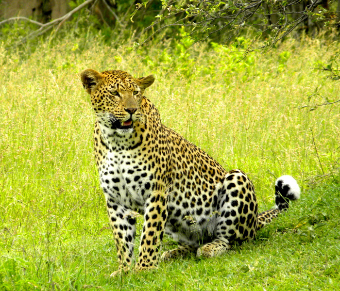 We didn't have to go very far from camp this day as this female leopard was right outside the camp.