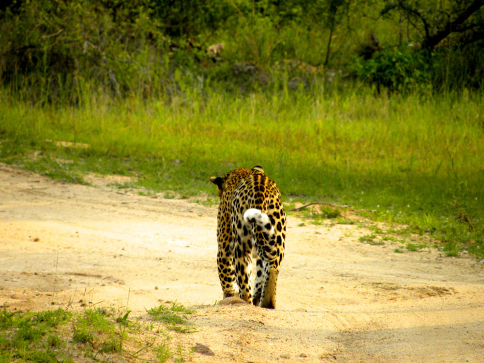 This female leopard was off to find her cub!
