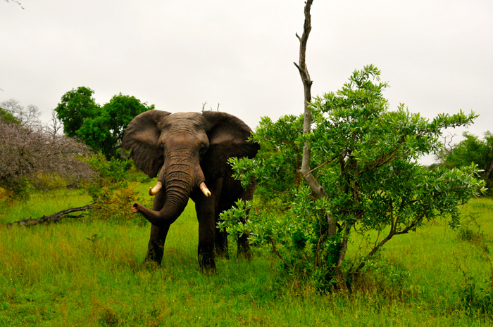 Some of this excitement came in the form of this Bull elephant protecting his herd!
