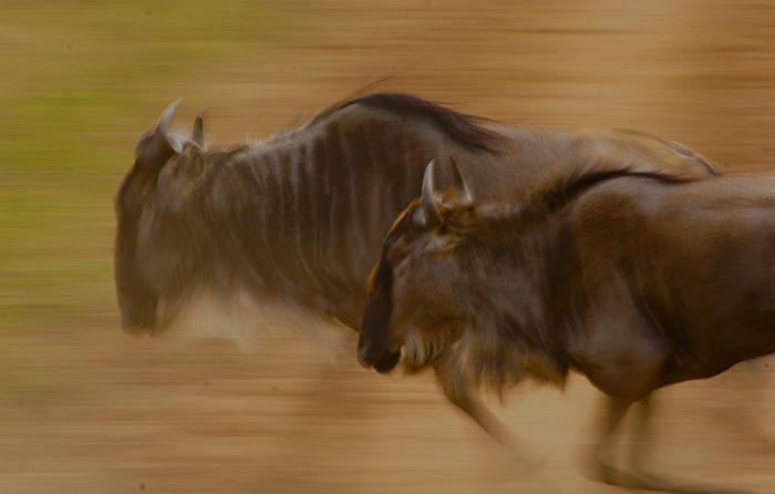 Wildebeest Running Rich Laburn