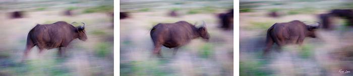 Blurry Buffalo Sequence Rich Laburn