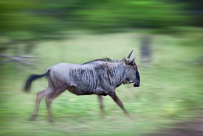 wildebeest rich laburn