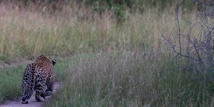 The Vomba young male stalks a herd of Impala unsuccessfully. Josh Lee