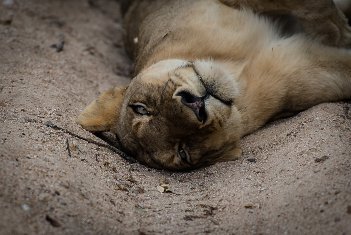 A Sparta pride lioness rests in the Maxabeni after a big meal. Josh Lee